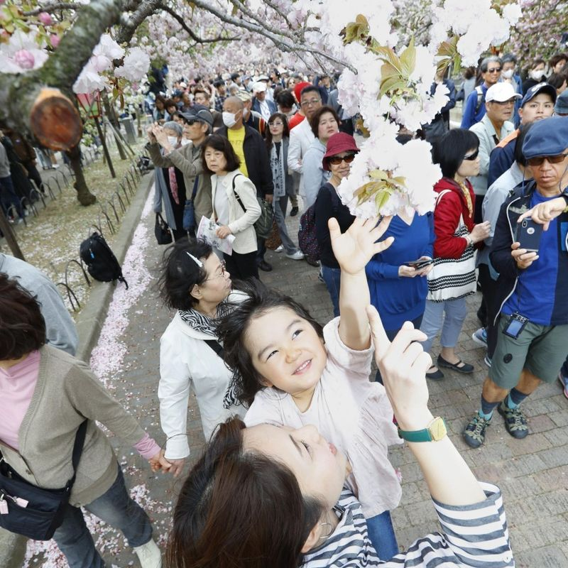 Annual cherry blossom viewing begins in Osaka photo
