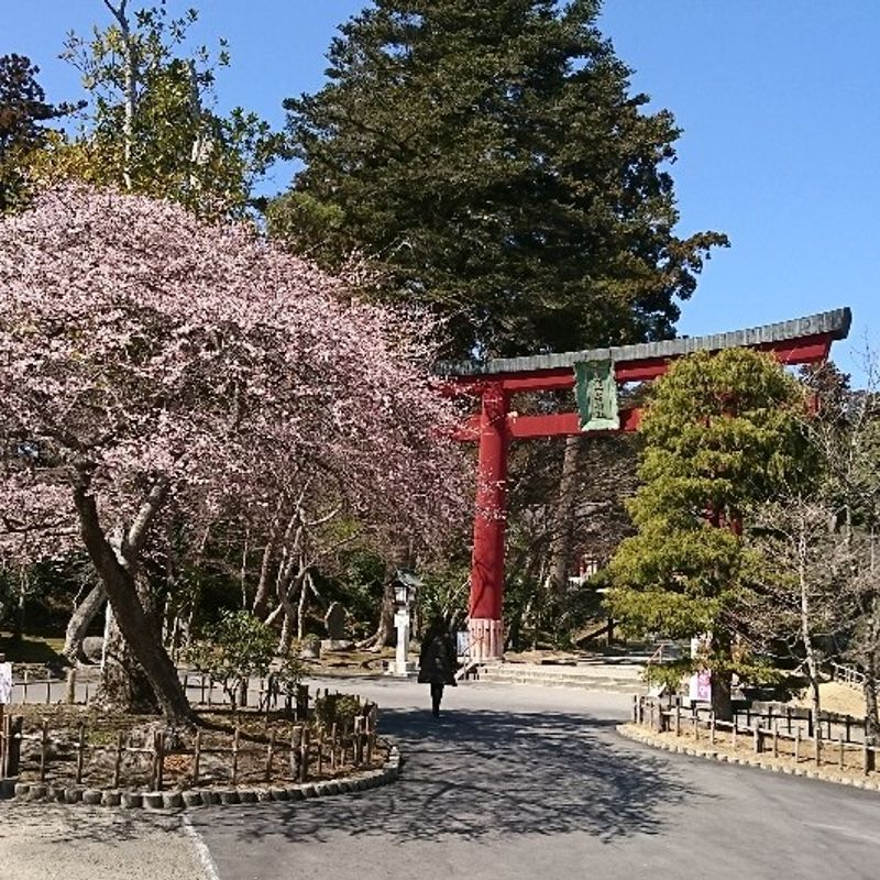 Sakura Starting at Shiogama Shrine photo