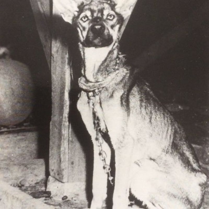 British charity still helping animals in Japan long after WWII photo